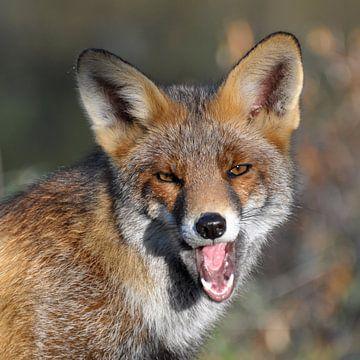 Yawning fox sur Rogier Vermeulen