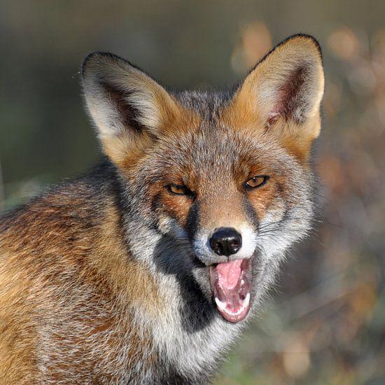 Geeuwende vos