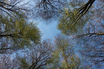 Baumkronen *Fagus sylvatica*, Blick in die Bäume von wunderbare Erde