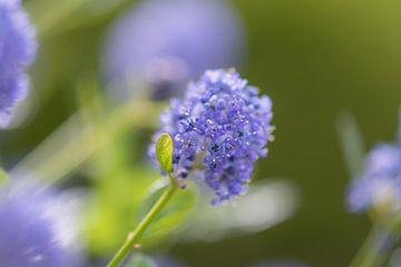 blauer Frühling von Tania Perneel