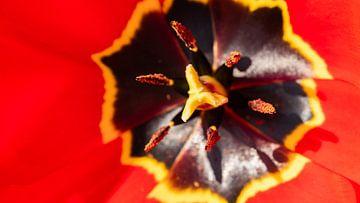 Blüte mit Pollen von Barry van Rijswijk