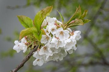 Japanse abrikoos van didier de borle