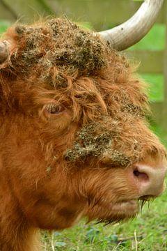 Porträt eines braunen schottischen Hochlandbewohners von Trinet Uzun