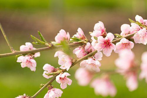 Tak met bloesem van de perzikboom van