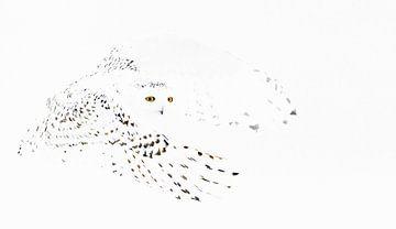 Vrouw Sneeuwuil (Bubo scandiaca) in high key van Beschermingswerk voor aan uw muur
