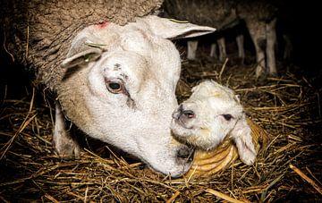 Mama schaap en haar pasgeboren lam op Texel / Mother sheep and her newborn lamb on Texel