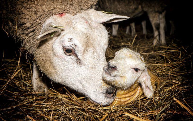Mama schaap en haar pasgeboren lam op Texel / Mother sheep and her newborn lamb on Texel van Justin Sinner Pictures ( Fotograaf op Texel)