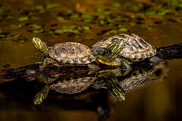 schildpadden met spiegeling van Bas Maas