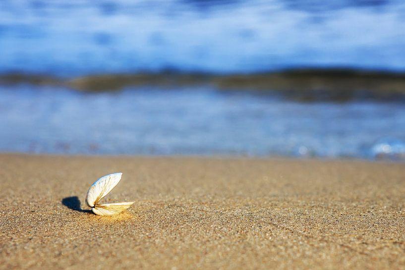 Eine offene Muschel am Strand von Frank Herrmann