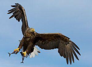 White-tailed Eagle in flight with two caught fish von Beschermingswerk voor aan uw muur