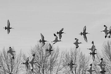 Fliegende Säbelschnäbler und schwarz-weiße schwarz-weiße schwarz-weiße schwarz-weiße Uferschnepfen von Anne Ponsen
