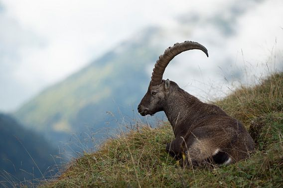 Alpine Ibex ( Capra ibex ) resting in grass, ruminating, surrounded by wild high mountains range, Sw