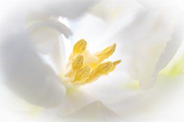 Weiße Tulpe von Karin Tebes