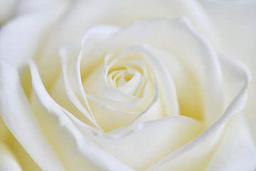 Canvas van een close-up van een roos von Jeroen Jonker