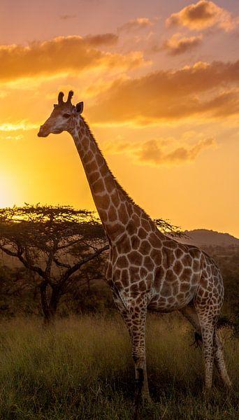 Giraffe enjoying the sunset van Kim Paffen