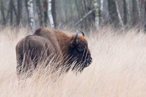 Wisent in hoog gras | Europese bizon Maashorst | Wildlife fotografie