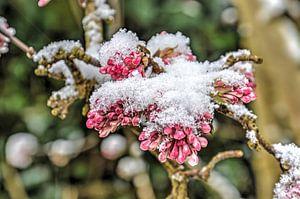 Lilas et neige