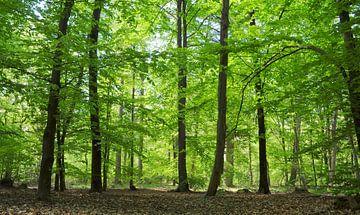 Beukenbos in het voorjaar van Corinne Welp