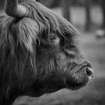 Kop van een Schotse Hooglander in zwart/wit van Jenco van Zalk