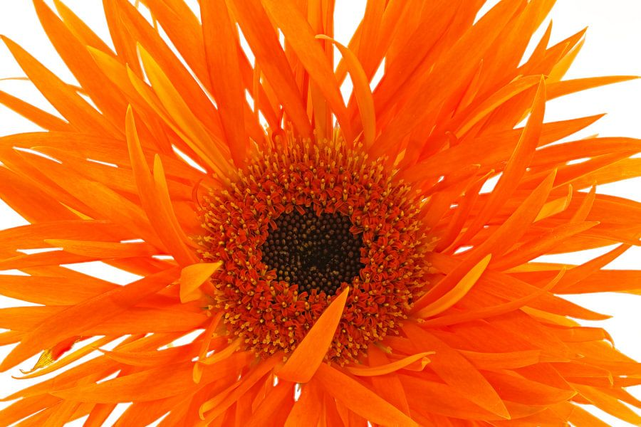 Gerbera Spider Orange van Tanja van Beuningen