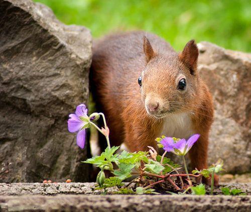 Eichhörnchen von