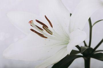 Weiße Lilie von Coby Vriens