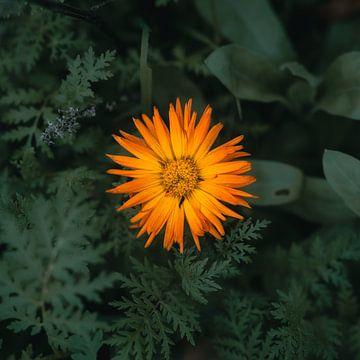 Calendula officinalis von Kamography