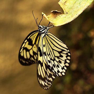The Butterfly sur Cornelis (Cees) Cornelissen