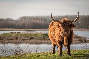 Schotse Hooglander van Remco de Jonge Photogaphy