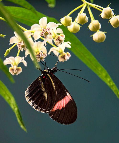 Passiebloemvlinder van Anouschka Hendriks