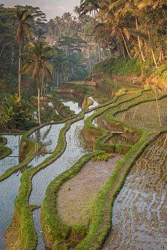 Rijstterrassen nabij Ubud van Sander Groenendijk
