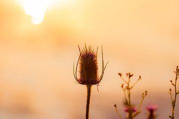 chardon au soleil du matin sur Tania Perneel