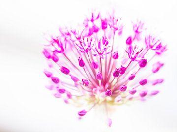Allium von Marianne Henstra