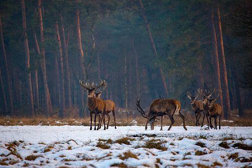 Edelherten in het Nationaal Park de Hoge Veluwe