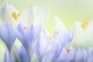 Soft pastel krokussen van Francis Dost