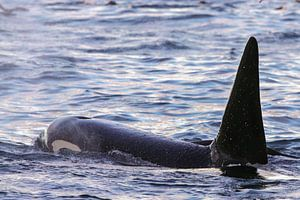 De grote rugvin van een mannetjes orka