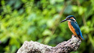 Ijsvogel van Henk bohmers