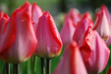 Dauwdruppels op roze tulpen sur Leuntje 's shop
