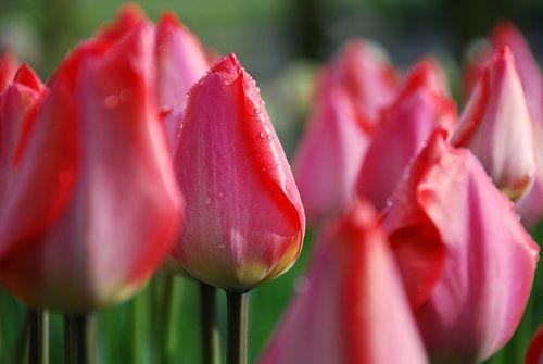 Dauwdruppels op roze tulpen