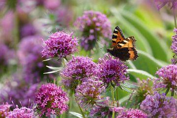 Schmetterling auf Zierlauch von christine b-b müller