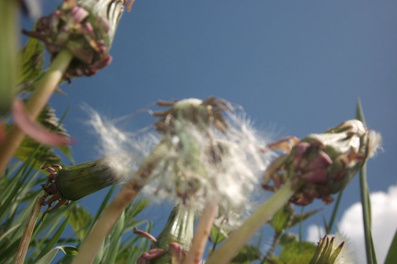 de Paardenbloem, the dandelion, der lowenzahn, le dent de lion, taraxacum van Yvonne de Waal Malefijt
