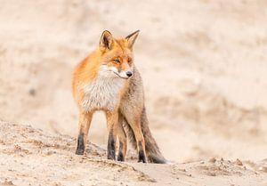 Sand dune fox! van Robert Kok