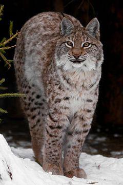 Un lynx gracieux et beau lynx sauvage sur Michael Semenov