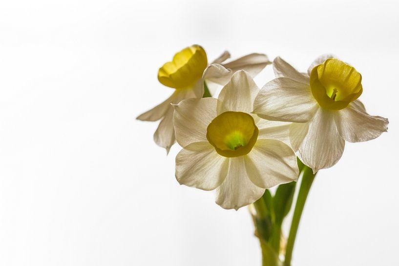 Narcissus 'Minnow' van William Mevissen
