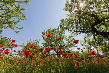 Mohnblumen von Antwan Janssen