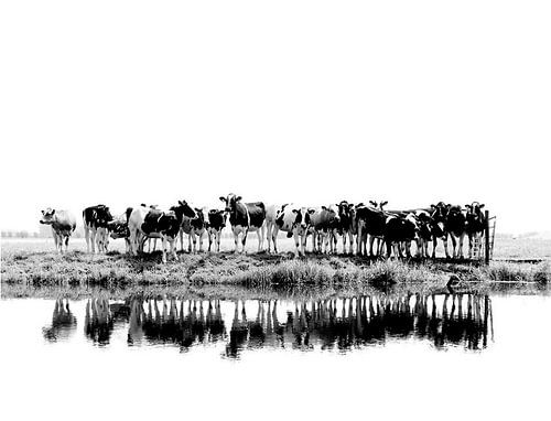 koeien in zwart/wit van Annemieke van der Wiel