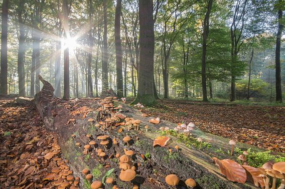 Bospaddestoelen in ochtendlicht van Hugo Meekes