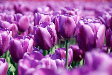 Tulpen von PvdH Fotografie