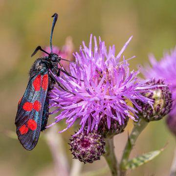 Sint-Jansvlinder eet nectar van een distel van Dafne Vos