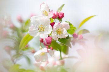 Blühende zartrosa Apfelblüte an einem sonnigen Tag mit natürlichem Hintergrund von Elles Rijsdijk